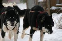 Bailey and Barnum Sled Dogs