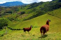 Llamas In the Andes Mountain Countryside