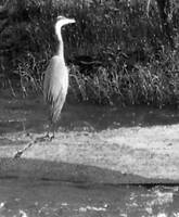 heron from pipeline walk, James River