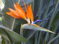 bird of paradise, Lewis Ginter Botanical Gardens