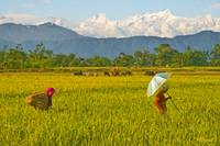 The rice fields of Nepal