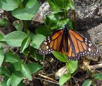 Monarch on Monhegan