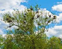 blue heron nests