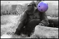 The Gorilla and the Purple Ball