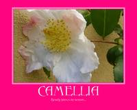Winter Camellia Poster