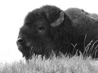 Buffalo Close-Up Black & White