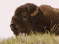 Buffalo Close-Up - Warmify