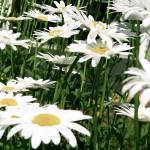 A Field of Daisies Prints & Posters