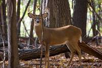 Standing Proud-Whitetail Buck (D1187-020) by Daniel Teetor