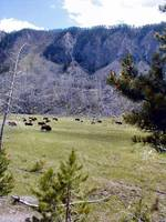 Grazing Buffalo 1