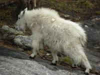 Mountain Goat - Original