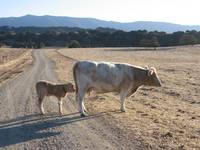 Momma and bebbe Charlet cows