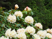 White Creamy Pink Rhododendron Flowers Landscape