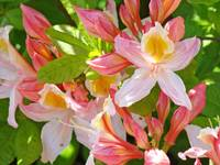 Bright Glowing Pink Orange Rhodies Flowers