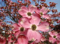 Colorful Bright Pink Dogwood Flowers Trees