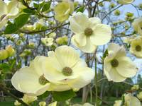 Dogwood Flowers Trees Yellow White Floral