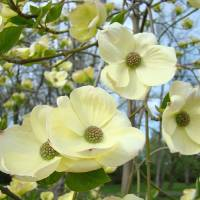 """""""Dogwood Flowers Trees Yellow White Floral"""" by BasleeTroutman"""