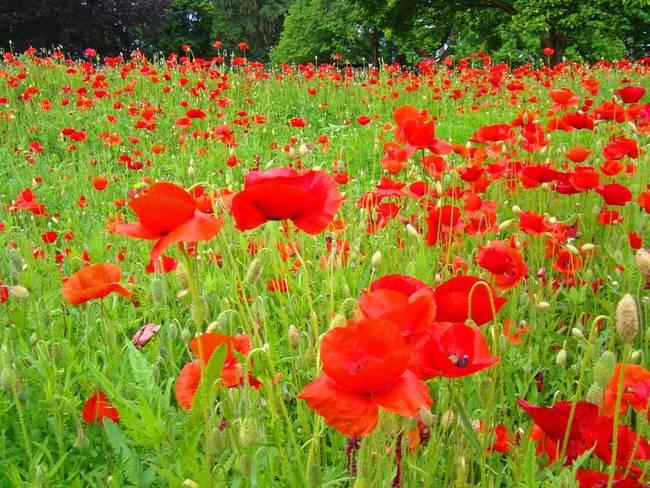 Poppy flower meadow green red poppies art by baslee troutman fine poppy flower meadow green red poppies art by baslee troutman fine art prints mightylinksfo