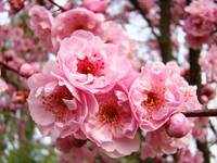 Tree Blossoms art prints Spring Pink Blossom