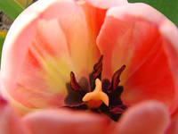 Pink Tulip Flower Close Up art print Floral