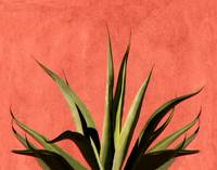 Agave on Red Stucco
