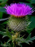 THISTLE---OUCH!!
