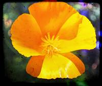 California Poppy Dirty Up