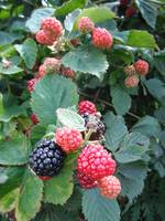 Chester Blackberries
