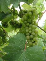 Chandler Hill Grapes