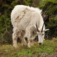 Mountain Goat (2)