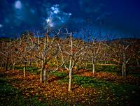 Midnight in the Apple Orchard