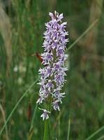 Fragrant orchid 5