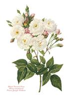 Blush Noisette Rose, Redoute