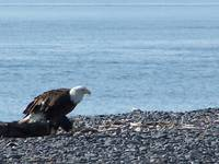 Eagle on the Beach in Homer, Alaska