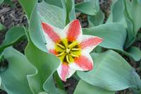 Red Yellow & White Tulip