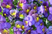 Purple & Yellow Pansies