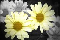 Daisys in Black and White with a splash of color