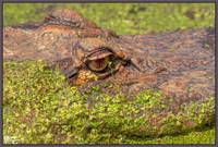 Gator in Duckweed ( Nature HDR )