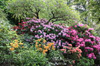 Simply Rhododendrons