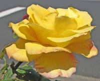 Beautiful yellow rose, 10