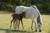 Mother and Foal Feeding