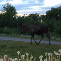 Alaska Anchorage Earhquake Park Urban Moose