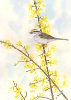 Spring Sparrow by Sharon Himes