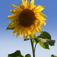 Sunflower by Roger Dullinger