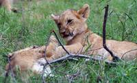 Sparring Lion Cubs