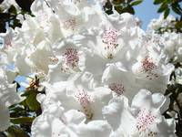 Floral art prints White Pink Rhododendrons Baslee