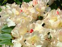 Summer Rhododendrons Floral art prints Baslee