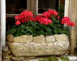 Red Geraniums in Stone Planter