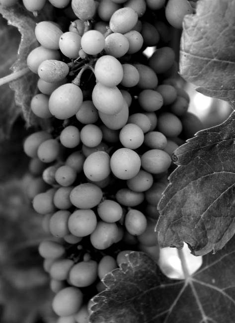 Close-up Wine Grapes_08