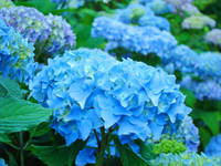 Hydrangeas Flower art prints Floral Garden